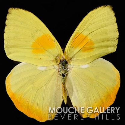 Yellow-Collias-WM