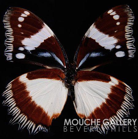 brown-papillion-wm